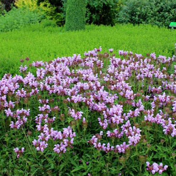 černohlávok, Trvalka Ružový Kvet