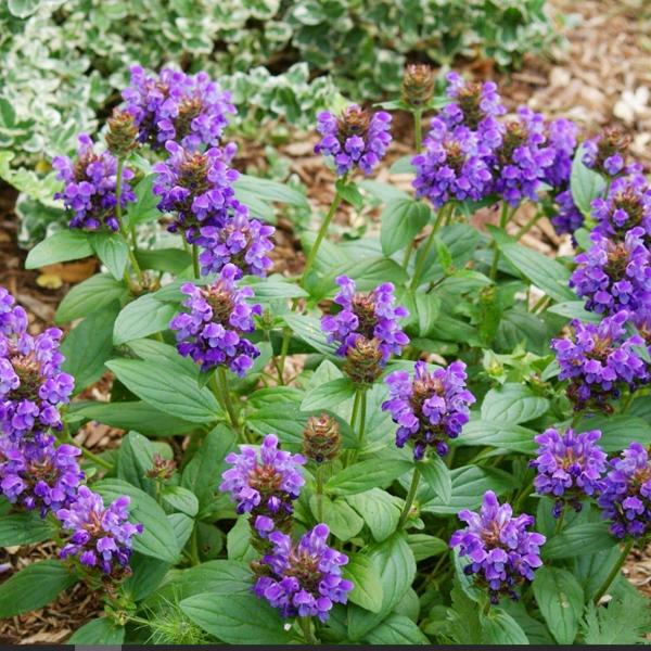 černohlávok, Trvalka Modrý Kvet